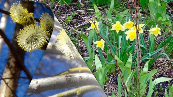 Наконец, весна вступила в свои права! На смену цветущей вербе расцветают мать-и-мачеха и нарциссы. А через 5 дней наступит лето, и там нас ожидают совсем другие цветочки!  Ухта