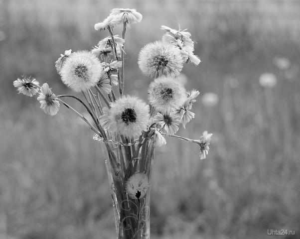 Мать и мачеха в конце цветения и одуванчики. Черно-белый вариант.  Ухта