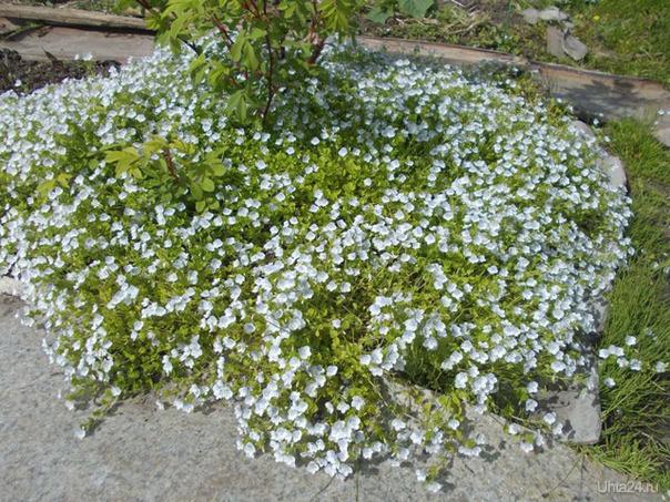 Забавное растение вероника ползучая. Многолетник, после зимы имеет зеленые листья, быстро разрастается.  Ухта