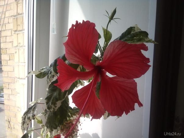 Первое цветение гибискуса Разное Ухта