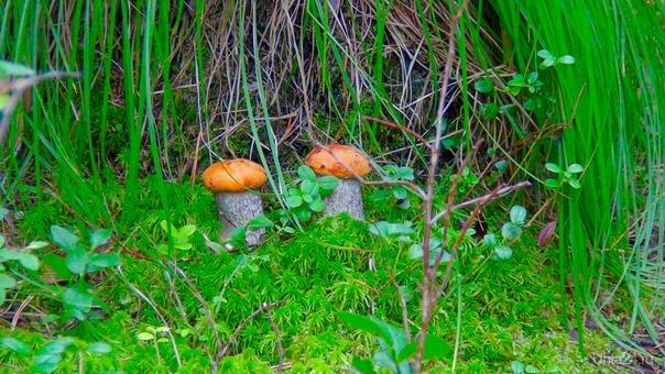 Под сенью трав возле кочки, спрятались два дружочка. Природа Ухты и Коми Ухта
