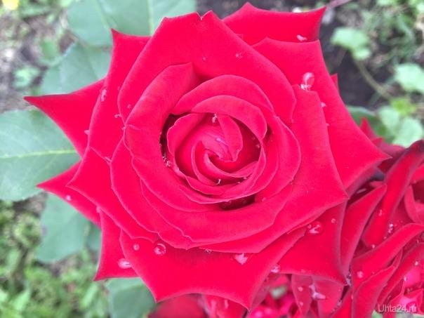 Роза  Разное Ухта