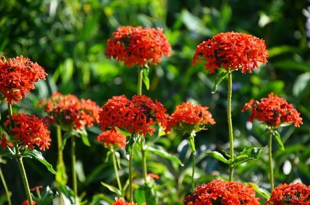 пятицветик ик Природа Ухты и Коми Ухта