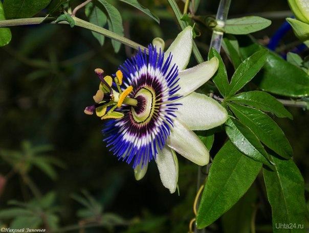 Осеннее цветение пассифлоры. Разное Ухта