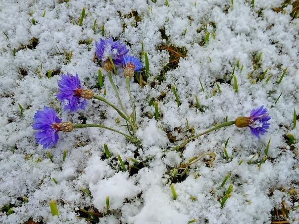 Васильки в снегу Разное Ухта