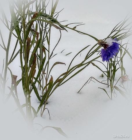 Стойкий цветок  Ухта