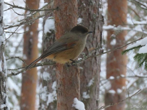 Увидела в лесу птицу на ветке.Побольше воробья и чуточку меньше голубя.Может кто подскажет,что за птаха?  Ухта