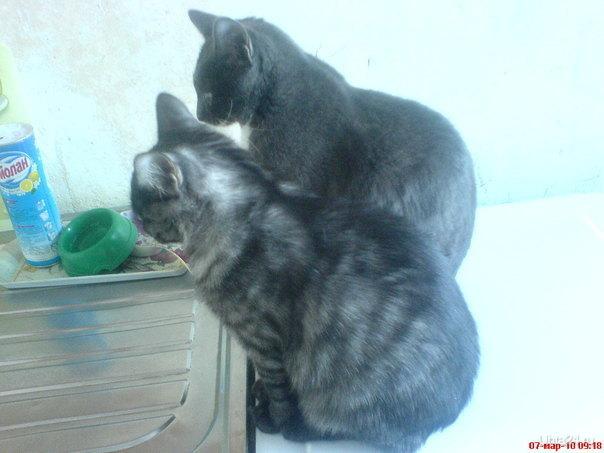мои кошки Питомцы Ухта