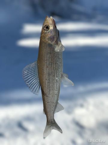 Хариус - волшебная рыба)  Разное Ухта