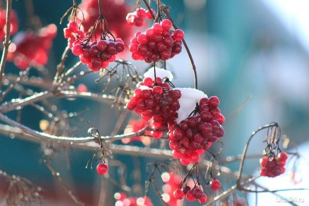 Ярославль, ягоды калины Разное Ухта