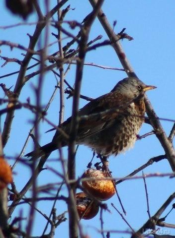 Птица похожа на дрозда (Ярославль) Разное Ухта