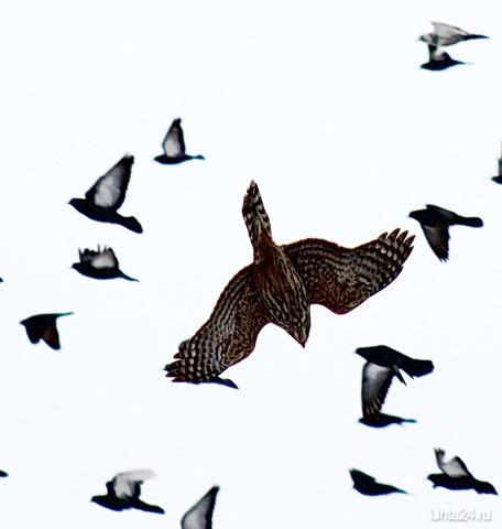 Охота на голубей возле УГТУ Природа Ухты и Коми Ухта