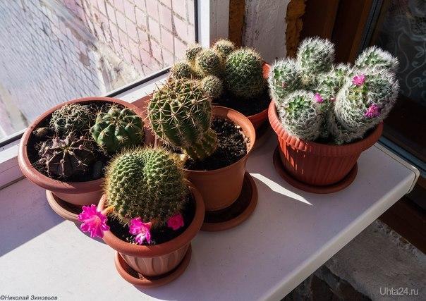 Небольшое кактусовое семейство принимает первые весенние солнечные ванны на балконе :) Разное Ухта
