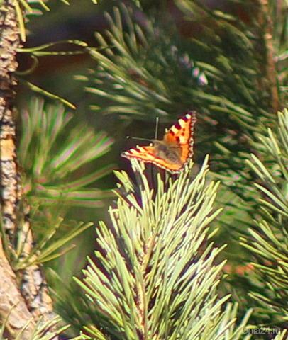 Первые бабочки. (Жаль, на снегу не успела сфоткать, ветром её сдуло) Природа Ухты и Коми Ухта