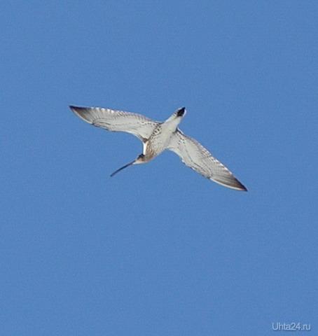 Кто знает, что за птица? (похоже на бекаса или вальдшнепа) Природа Ухты и Коми Ухта