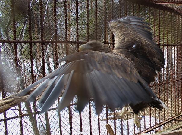 Дрозды взбудоражили орла Природа Ухты и Коми Ухта
