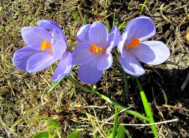 Весенние крокусы Природа Ухты и Коми Ухта
