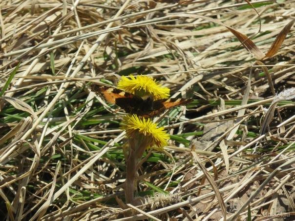 Бабочка. Природа Ухты и Коми Ухта