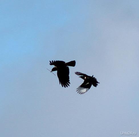 Ворона украла веточку из гнезда сороки Природа Ухты и Коми Ухта