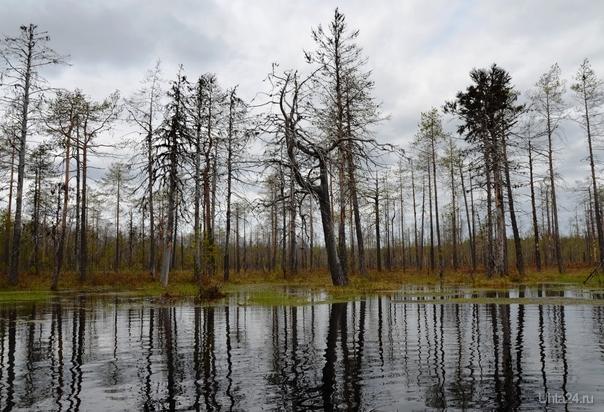 болотце кушает деревца почутка Природа Ухты и Коми Ухта