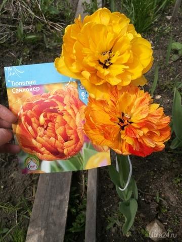 Тюльпаны из магнита не подвели Природа Ухты и Коми Ухта