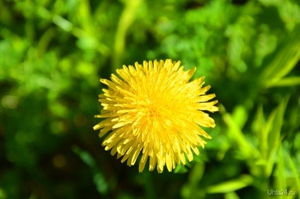 разные цветочки в коми начались Природа Ухты и Коми Ухта