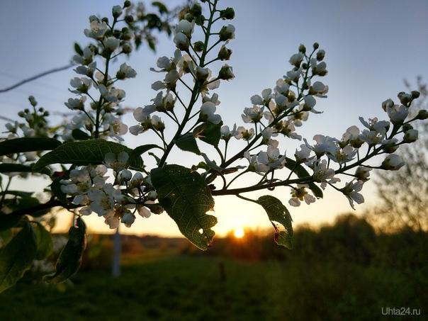 Черемуха в цвету Природа Ухты и Коми Ухта