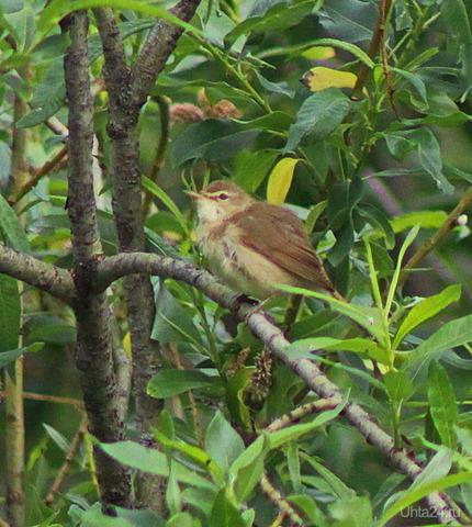 Я не знаю что это за птичка, но поёт красиво. Природа Ухты и Коми Ухта