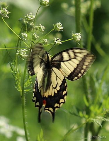 Махаон (давно не видела этих бабочек) Природа Ухты и Коми Ухта