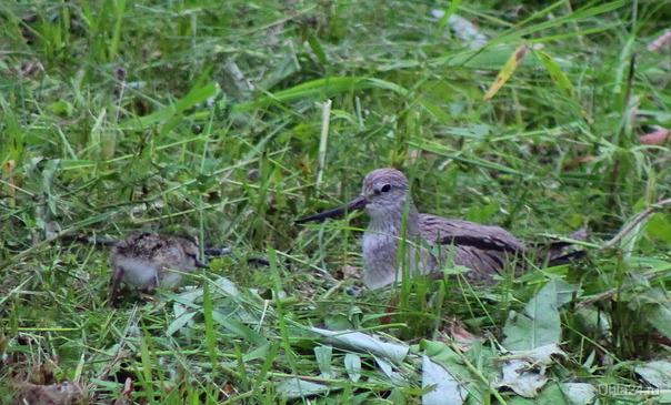 Кулик с птенцами (часть по крылом, часть в траве) Природа Ухты и Коми Ухта