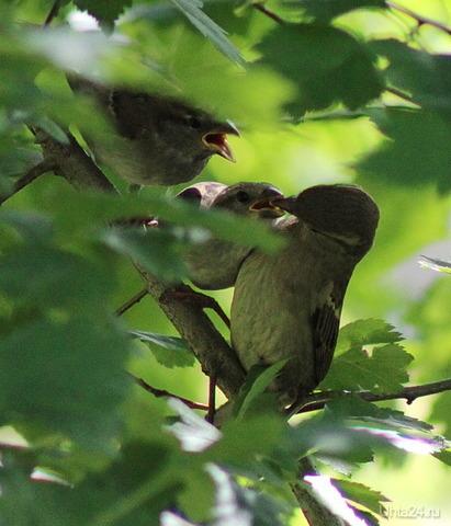 Птенцы с маму, а всё есть просят Природа Ухты и Коми Ухта