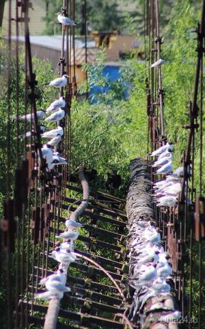 Черноголовые чайки и крачки облюбовали местечко для отдыха Природа Ухты и Коми Ухта