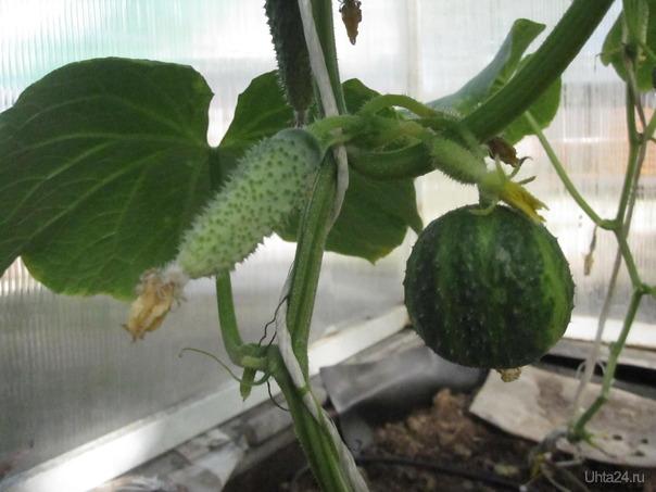 Растили огурцы, а вырос 1 арбуз... Природа Ухты и Коми Ухта