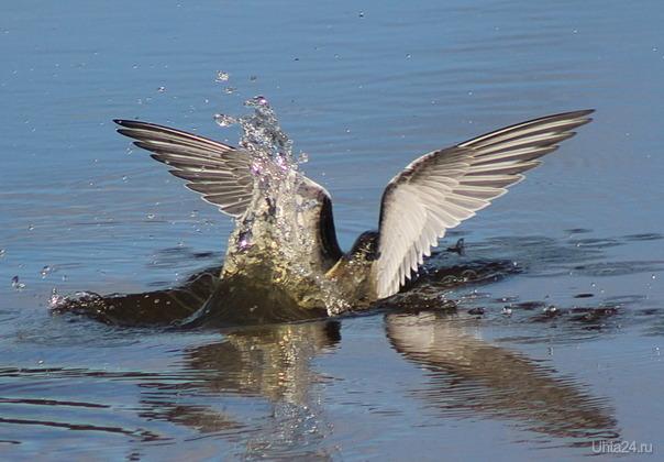 Пока мама-крачка добывает рыбу, подросший птенец учится нырять.  Ухта
