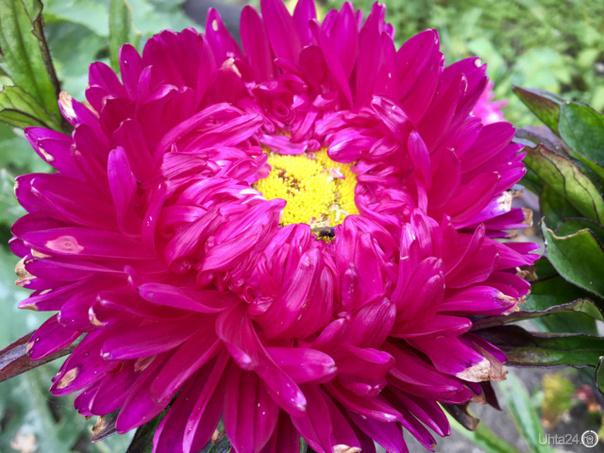 Дачные цветы. Мои любимые астры,)) Природа Ухты и Коми Ухта