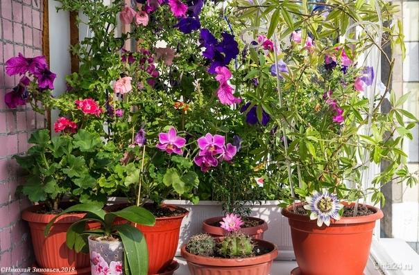 """Небольшой """"ботанический сад"""" на балконе из разноцветья в последний день лета, скоро зима, красок будет не хватать)  Ухта"""