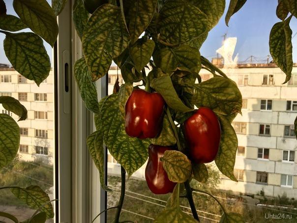 Балконный урожай!)) Творчество, хобби Ухта