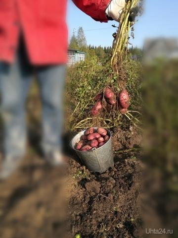 в этом году на удивление небывалый урожай картошки Природа Ухты и Коми Ухта