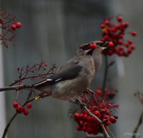 Синхронное поедание рябины Природа Ухты и Коми Ухта