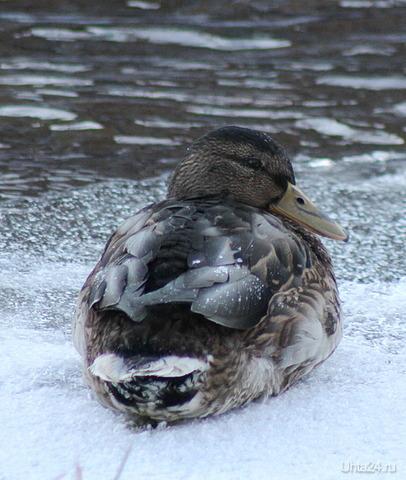 Похоже утки опять остались на зимовку, уже 5 штук  Ухта
