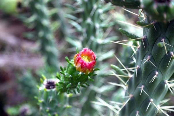 Цветок кактуса.05.01.2019 Мир глазами ухтинцев Ухта