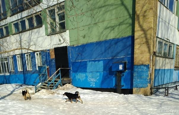 Ухта 29 03 2019 бродячие собаки осеменяют паразитами территорию школы номер 5 Пионергора Ухта Коми РФ Проблемы Ухты Ухта