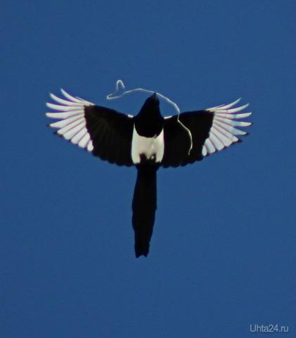 Все птицы несут в гнездо веточки, шерстинки, травинки, а сорока проволоку Природа Ухты и Коми Ухта