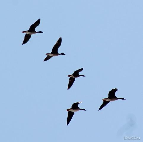 Гуси летят Природа Ухты и Коми Ухта