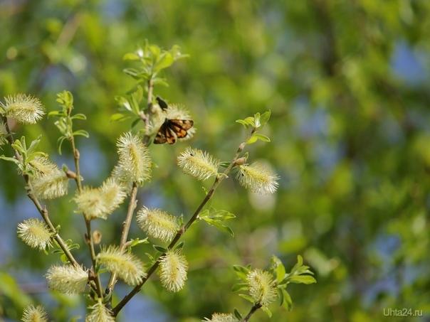 Весенние бабочки Природа Ухты и Коми Ухта