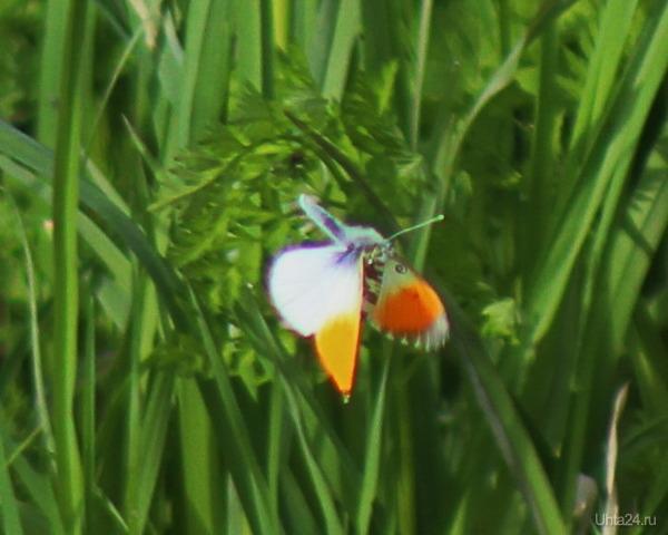 Бабочка Зорька (в полёте). Природа Ухты и Коми Ухта
