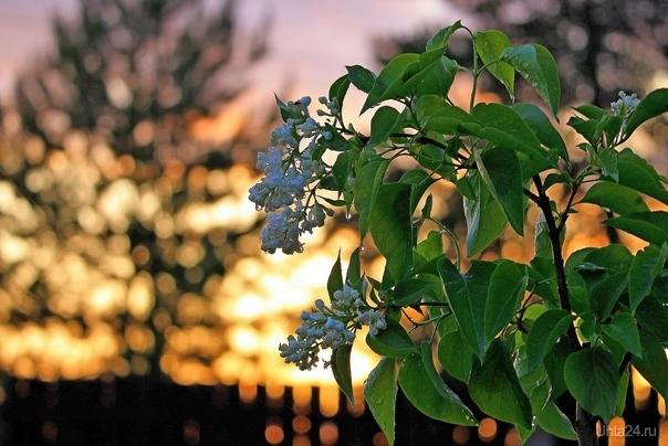 Ветка белой сирени на фоне солнечного заката Разное Ухта