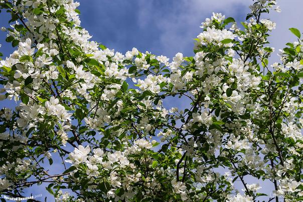 Яблоня ягодная цветёт. Природа Ухты и Коми Ухта