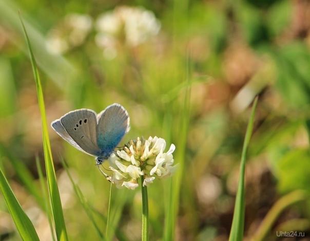 Бабочка голубянка Природа Ухты и Коми Ухта