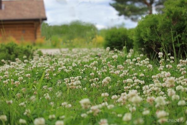 Кашкина полянка (клевер ползучий). Природа Ухты и Коми Ухта